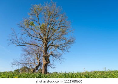 Lonely tree without leafs on blue clean cloudless sky and green grass