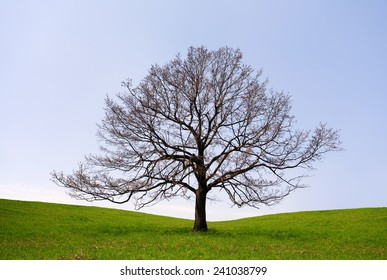 Lonely tree without leaves
