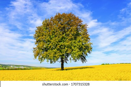 Lonely tree in yellow meadow flowers. Lonely tree meadow. Meadow lonely tree landscape. Yellow meadow flowers lonely tree