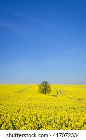 lonely tree in the yellow rapeseed field