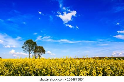 Lonely trees in summer field flowers landscape. Yellow meadow flowers view. Meadow yellow flowers scene. Meadow yellow flowers landscape