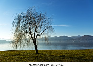 Lonely weeping willow near the lakeside, Ispra - Varese, Lombardy - Italy
