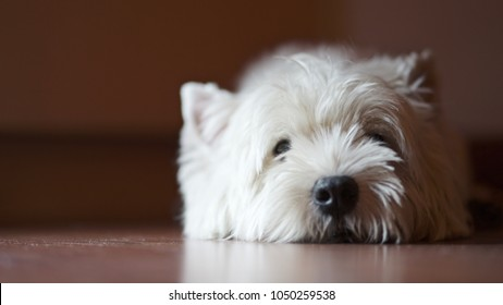 A lonely west highland white terrier dog is waiting for the owner.