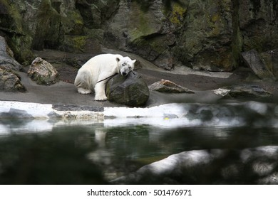 A lonely white bear lies on a rock in a zoo and looks sad.