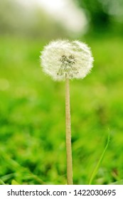 Lonely white fluffy blowball on a blurred green summer background. Vertical frame