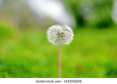 Lonely white fluffy blowball on a blurred green summer background. Horizontal frame