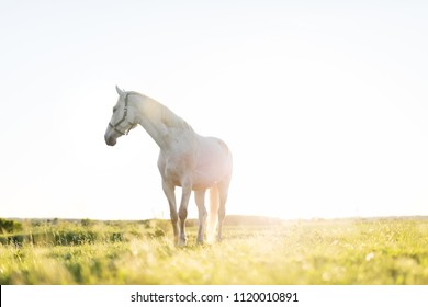 Lonely white horse standing on the grass field in the sunset. Animals and nature.