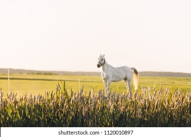 Lonely white horse standing on the green field with flowers in the sunset. Animals.