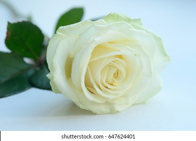 Lonely white rose.