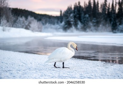 A lonely white swan by a winter river. White swan on snow. Lonely white swan on snowy river shore. White swan in winter snow scene