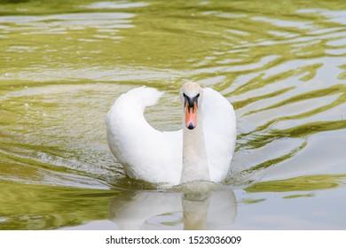 lonely white swan swimming on lake