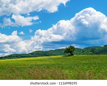 Lonely wild plum tree in an uncultivated field against beautiful white cumulus clouds