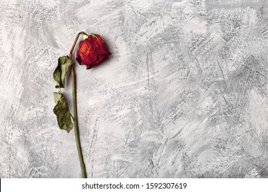 Lonely wilted red rose on a gray stone background. Dead flower on a textural background top view. Blank, postcard, template for design withered flower on a light background.