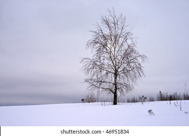 Lonely winter birch