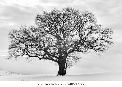 Lonely Winter Tree. Sweet Solitude. Cold and Cloudy day with much snow in the black forest region of Germany