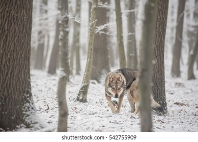 lonely wolf captured in the winter forest with snow and fog