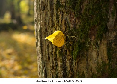 Lonely yellow leaf of a Linden hanging on a tree branch in the autumn forest Park
