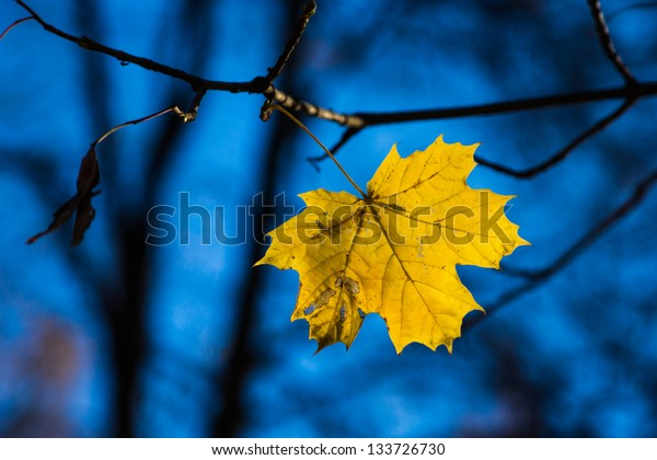 A lonely yellow maple leaf on a tree branch against deep blue sky