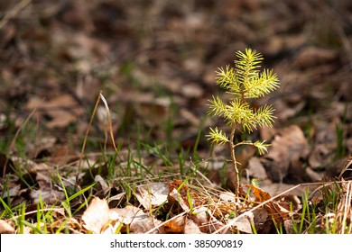 Lonely young pine sapling tree sprout in spring forest under sunlight under closeup view