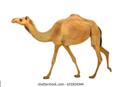A lonely young wild dromedary, Camelus dromedarius, also called Arabian camel, walkin isolated on white background. side view. United Arab Emirates. Middle East travel concept. Copy space.