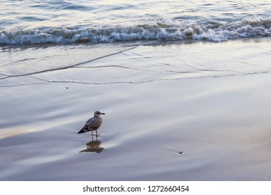Lonely young yellow legged gull, Larus cachinnans, on the sparkly shore of the sea