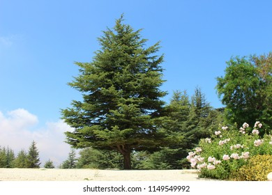 Loner Cedar Tree