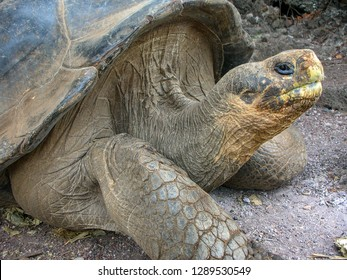 Lonesome George was a male Pinta Island tortoise and the last known individual of the species on the Galapagos Islands, Ecuador