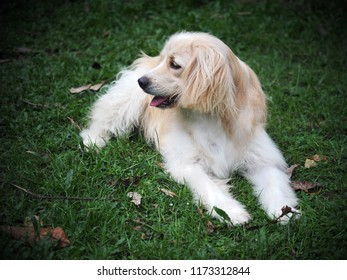 lonesome lonely sad white cute fat long hair puppy crossbred handsome dog portraits laying outdoor on home garden floor waiting for owner friend to take a walk