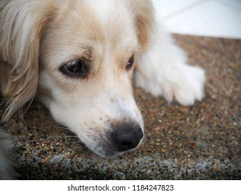 lonesome lonely sad white cute fat long hair crossbred handsome dog portraits looks like Golden Retriever waiting outside for owner friend to take a walk