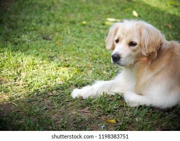 lonesome lonely sad white cute fat long hair puppy crossbred handsome dog portraits laying outdoor on green home garden floor waiting for owner friend to take a walk