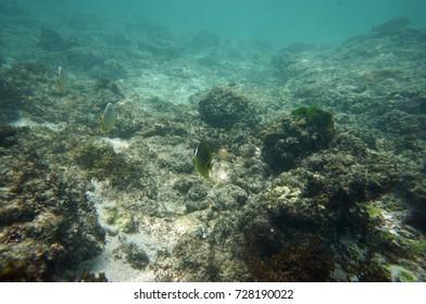 Lonesome raccon butterflyfish