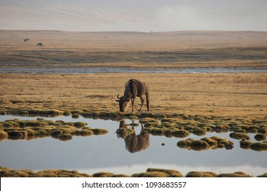 lonesome wildbeast Gnus is drinking water at early morning light