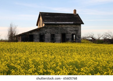 long abandoned derelict dilapidated farm house rests in middle of yellow blossoms of canola, an edible oil seed crop, along the trans-Canada highway in Saskatchewan