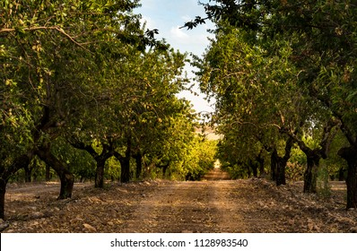 Long alley of almond trees in orchard lit by warm golden sunlight. Selective focus. Copy space.