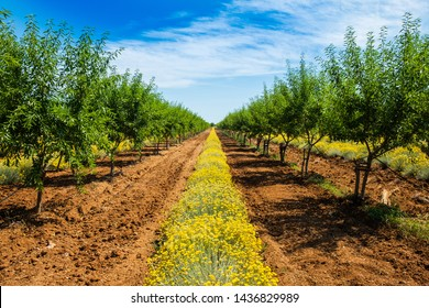 Long alley of green almond trees on an almonds plantation with yellow immortelle between raws, sunny summar day, Dalmatia, Croatia