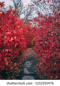 A long avenue with bright red leaves. Autumn, rainy day, cloudy weather.