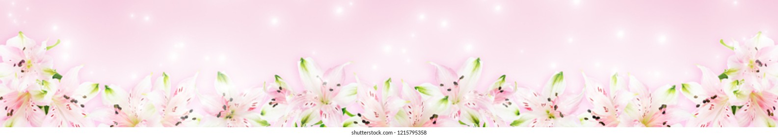 Long banner with pink Alstroemeria flowers on pink background