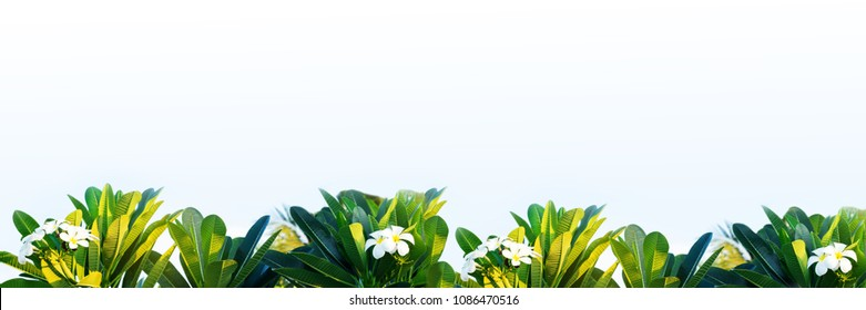 Long banner spa background with frangipani tropical flowers, white plumeria frame with copy space