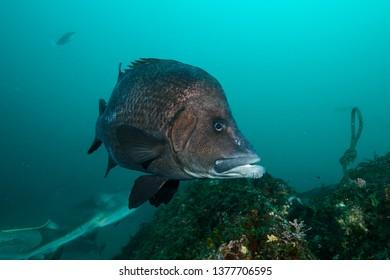 Long Barbled Grunter Fish with Goatee Posing Underwater in Green Ocean Waters of Chiba, Japan