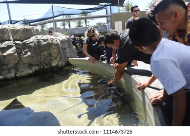 Long Beach, California, USA - June 10, 2018: Visitors are trying to touch and feel the sea creatures in the large touch pool at Aquarium of the Pacific, Long Beach, CA.