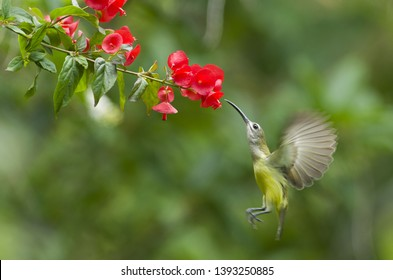 Long billed bird ,little spiderhunter drinking sweet from red flower.