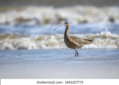 Long billed curlew standing in the surf on the Gulf Coast of Texas