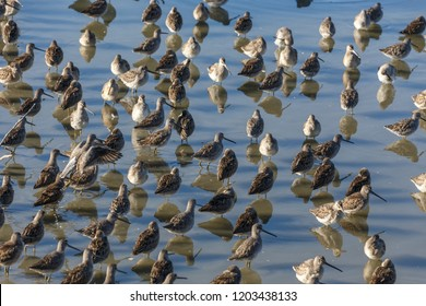 Long billed dowitcher in pond at Vancouver BC Canada.