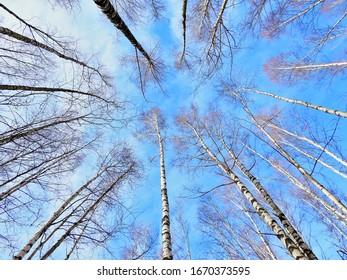 Long birches rise towards blue sky