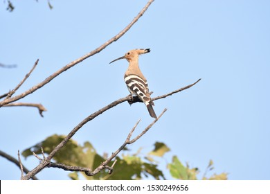 Long Black pointed beak, small black iris, pinkish brown colored colorful bird species Hoopoe  Bird (Upupa epops) having a morning sunbath sighted at Panna National Park, Madhya Pradesh, India, Asia