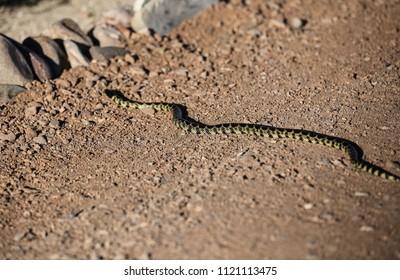 Long black and yellow body of live desert kingsnake crossing stony area