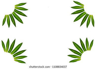 Long, bright, purple and green leaves of a tropical plant isolated on white background.