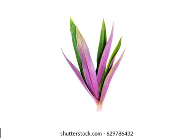 Long, bright, purple and pink leaves of a tropical plant isolated on white background.Croton leaf.
