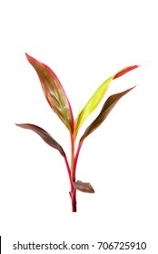 Long, bright, purple and pink leaves of a tropical plant isolated on white background.