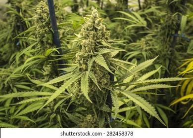 Long Bud on Indoor Marijuana Plant